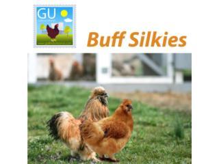 Hoy domingo Pollitos Silkies color Buff787-6474447, GALLINAS URBANAS