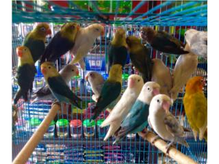 Lovebirds variedad , Isabela Pet Shop