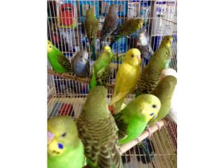 Variedad de pericos $10c/u, Isabela Pet Shop
