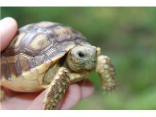 Tortugas Bebes Sulcatas , Bellas, Mundo Animal