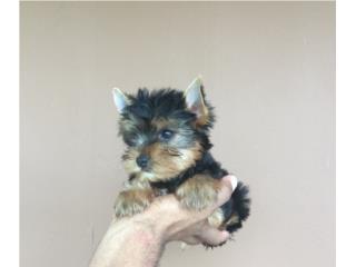 YORKIE HEMBRITA EXCELENTE CALIDAD , Pets