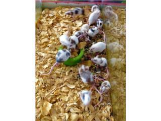 Variedad de Ratónes,ratas y hamsters, Isabela Pet Shop