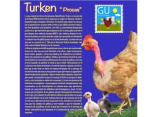 POLLITOS TURKENS