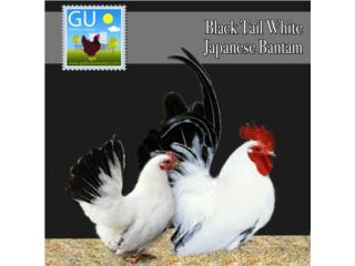 POLLITOS DE JAPANESE BANTAMS (Buff y Blancos) Puerto Rico