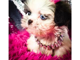 Puerto Rico Shih Tzu Hembra Liver Nose Imperial Toy , Perros Gatos y Caballos