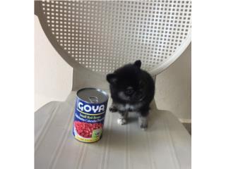 POMERANIAN TEA CUP HEMBRA DOS TONOS, Puppy