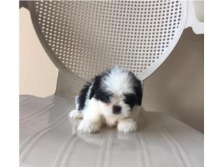 SHIH TZU IMPERIAL MACHITO , Puppy