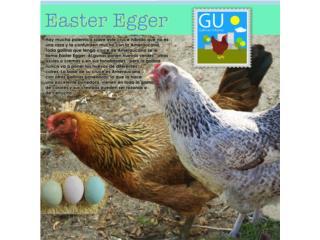 Politas PonedorasEASTER EGGER(Huevos colores verd), GALLINAS URBANAS
