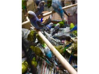 20 pericos joven $150 cambio x lovebird o cockatie, Family Pets