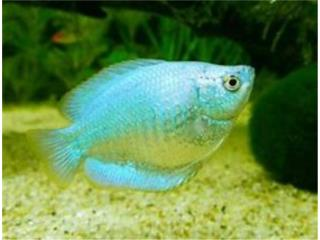 GOURAMI GREEN CORAL MUCHA VARIEDAD!!!!!, OUTLET PET CENTER & CENTRO AGRICOLA