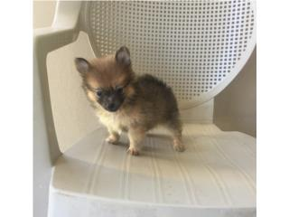 POMERANIAN TEA CUP MACHITO , Puppy