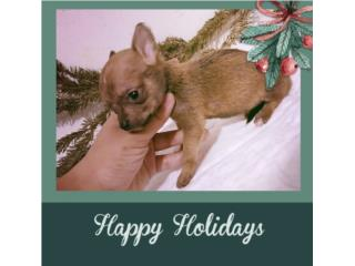 Chihuahua Toy - Chocolatito, PRECIOSO, Doggie