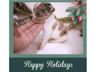 Chihuahua Blue Merle, EXOTICA, Preciosa, Doggie