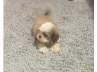 SHIH TZU MACHITO BLANCO Y DORADO , Puppy