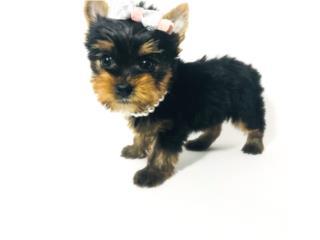 Puerto Rico Yorkie Nena LÍNEAS RUSAS AKC Toy Dollface, Perros Gatos y Caballos