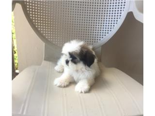SHIH-TZU MACHITO BLANCO Y DORADO , Puppy