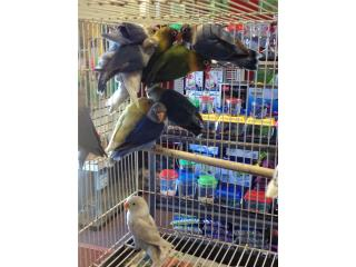 muchos lovebirds desde $30, Isabela Pet Shop