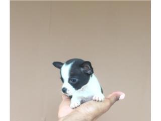 CHIHUAHUA MACHITO BLANCO Y NEGRO , Pets