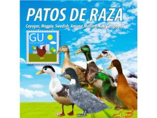 Patos Magpie, Cayuga, Blue Swedish y Mallards, GALLINAS URBANAS