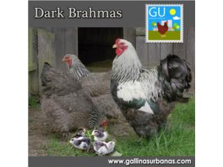 Gallinas Dark y Buff Brahmas, GALLINAS URBANAS