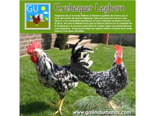 Gallinas Exchequer Leghorn, GALLINAS URBANAS