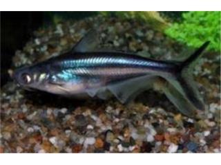 Mystic Basa Catfish, AQUARIUM XTRA