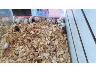 Hamster y ratones para mascota o alimento Puerto Rico