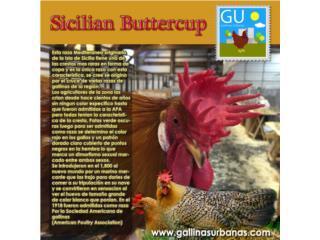 Gallinas Sicilian Buttercups , GALLINAS URBANAS