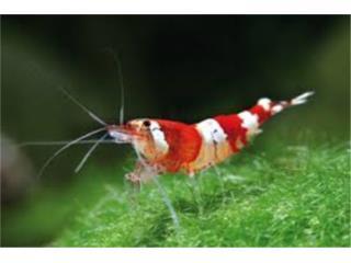 Red Crystal Shrimp, AQUARIUM XTRA
