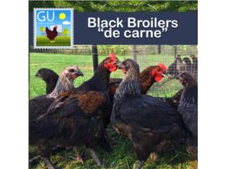 Pollitos cruce Black Broilers de Carne, GALLINAS URBANAS