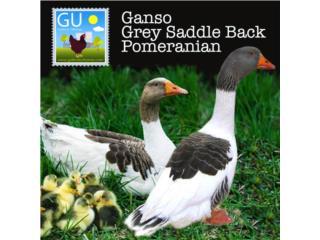 GANSOS Gree Saddle B Pomeranians, GALLINAS URBANAS