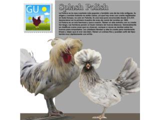 Pollitas de Gallinas Splash Polacas , GALLINAS URBANAS
