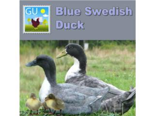 Patitos Blue Swedish 787-647-4447, GALLINAS URBANAS