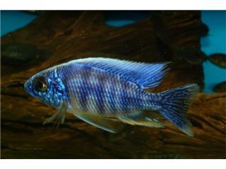 Taiwan Reef African Cichlid, AQUARIUM XTRA
