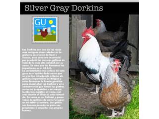 Silver Gray Dorkins raza Europea rara, GALLINAS URBANAS