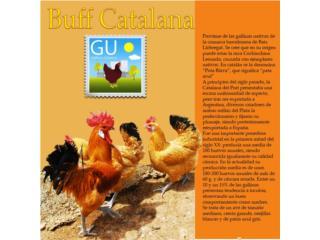 Buff Catalana.