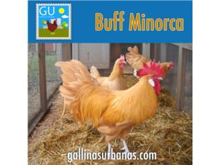 Buff Minorcas , GALLINAS URBANAS