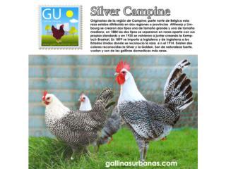 Pollitos de Gallinas SIlver Campine 647-4447, GALLINAS URBANAS