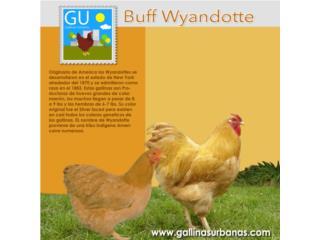 Pollitos de gallinas Buff Wyandotte(RARAS) , GALLINAS URBANAS