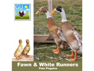 Patos Fawn and White Runners ( Pingüinos), GALLINAS URBANAS
