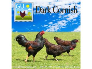 Gallinas Cornish Dark y Buff, GALLINAS URBANAS