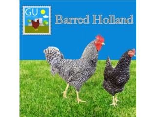 Pollitos de BARRED HOLLANDS , GALLINAS URBANAS