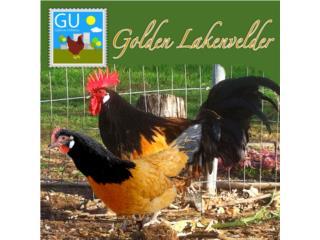 GOLDEN LAKENVELDER gallinas alemana, GALLINAS URBANAS