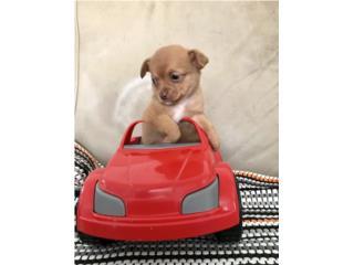 Chihuahua Nene, Hermoso, Papas LongHair, Mundo Animal