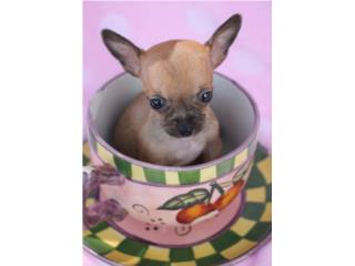 Chihuahua Mini Toy , Nenes, Hermosos, Mundo Animal