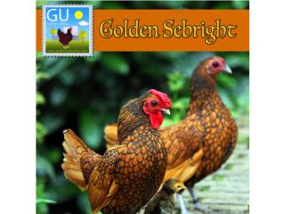GOLDEN SEBRIGHT Bantams De los Kiris mas exoticos, GALLINAS URBANAS