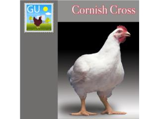 Pollitos de Cornish Cross (picu de carne), GALLINAS URBANAS