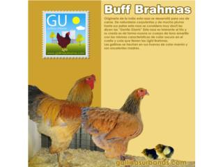 Buff Brahma 787-647-4447 Las grandotas, GALLINAS URBANAS