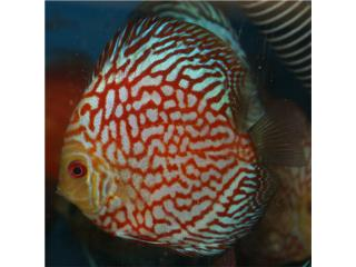 Discus Jack Wattley Chequerboard Red, AQUARIUM XTRA