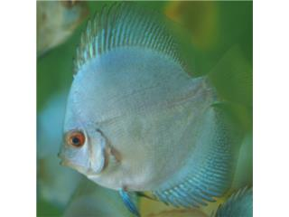 Discus Jack Wattley Blue Diamond, AQUARIUM XTRA